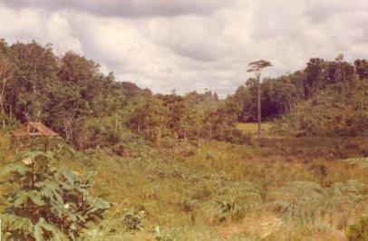 op de achtergrond staat de Jelutong boom